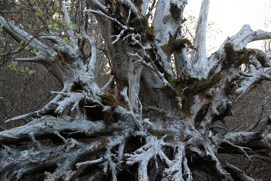 Dead Tree Root Photograph