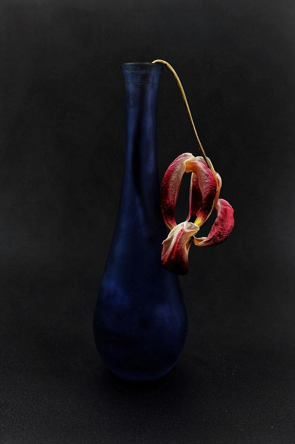 Tulip Photograph - Dead Tulip by John Rodrigues