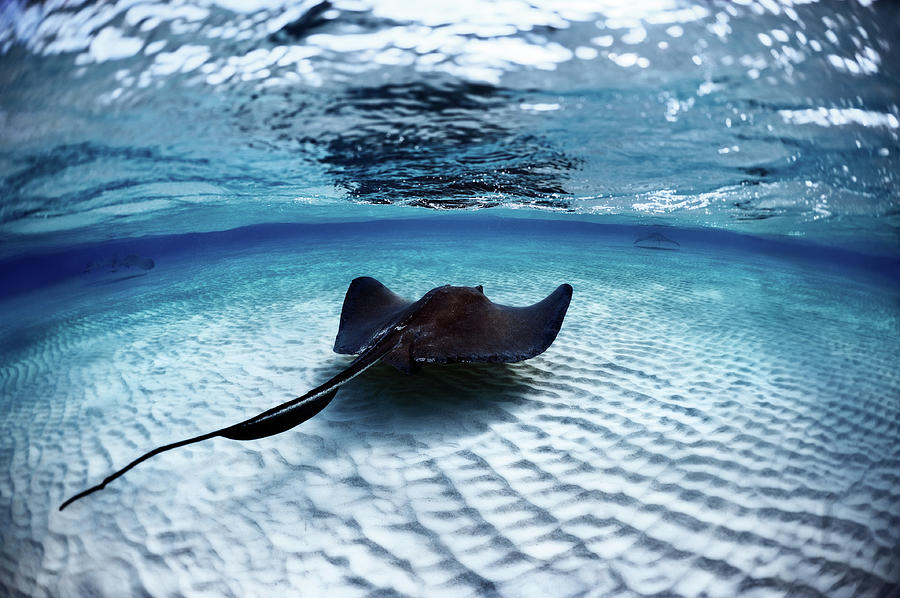 Deadly Stingray Photograph by Extreme-photographer