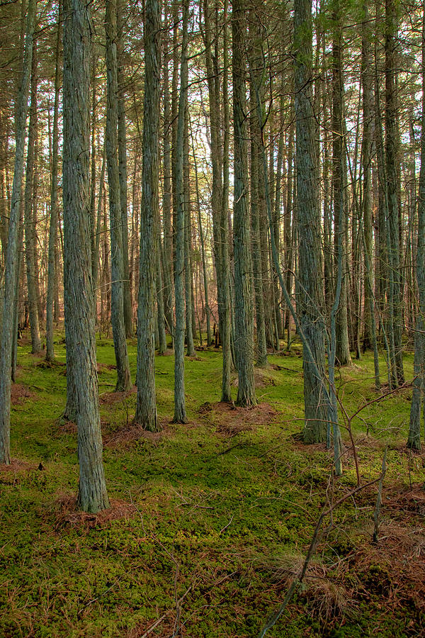 Deep In The Cedar Swamp by Kristia Adams