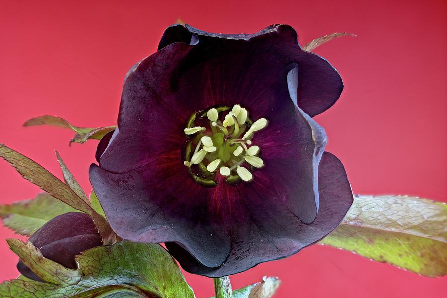 Deep Purple Helleborus by Douglas Barnett