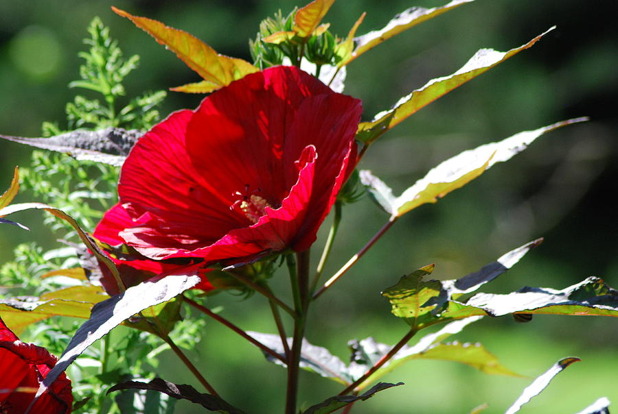 Deep Red Hibiscus Plant Photograph By Ee Photography