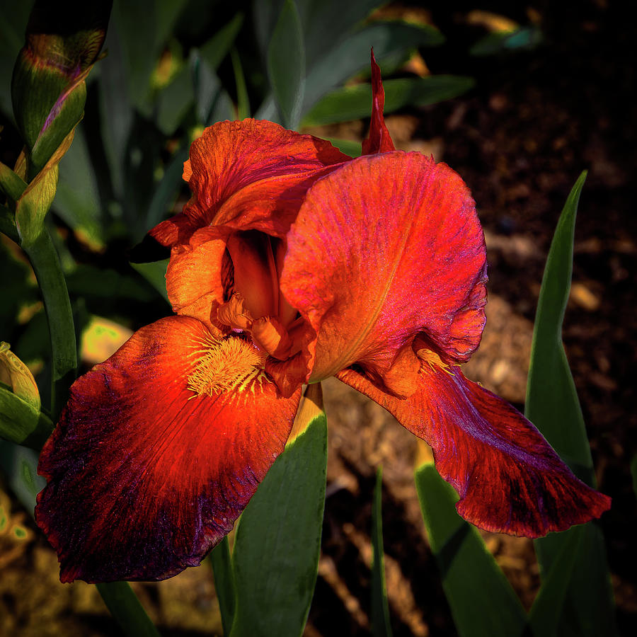 Deep Red Iris by David Patterson
