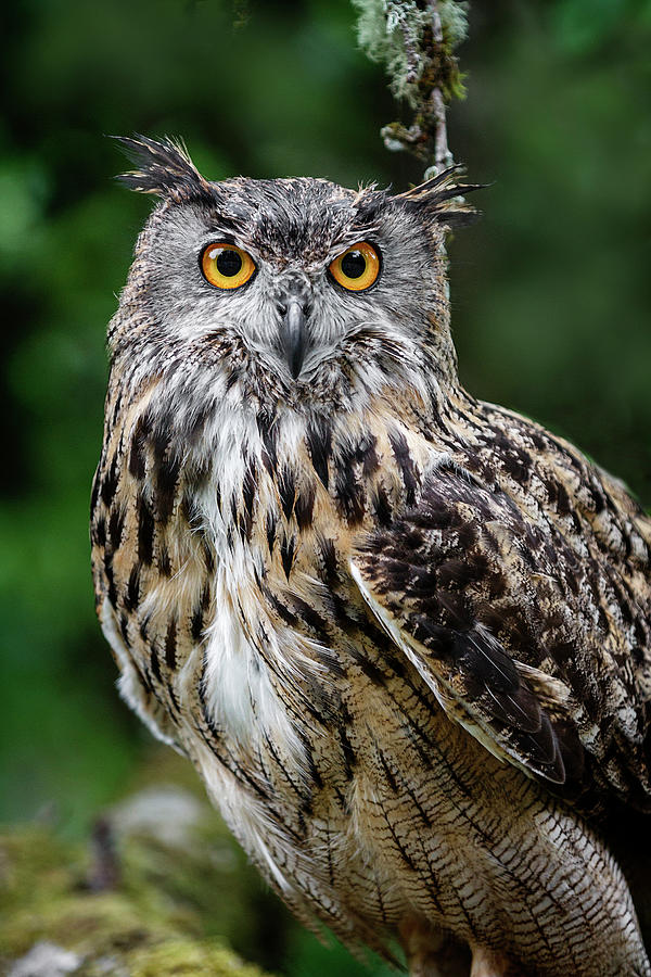 Deep Woods Owl Photograph