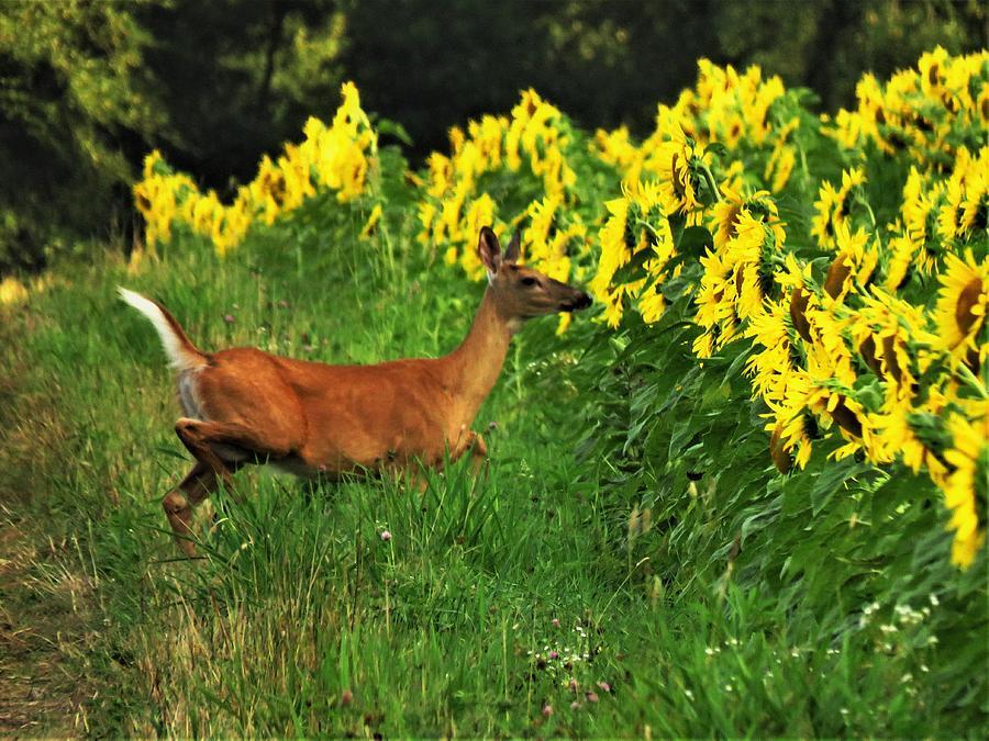 Deer Photograph - Deer And Sunflowers  by Lori Frisch