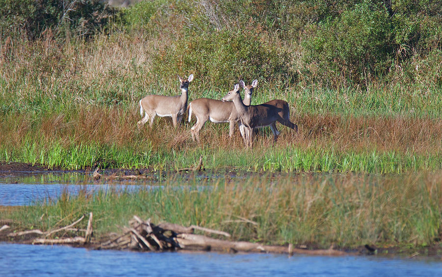 Deer at Tuttle Marsh 8033 by Michael Peychich