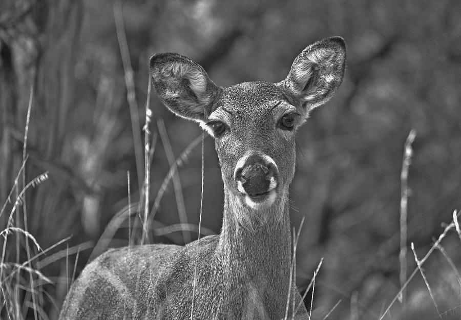 Deer Close Up Photograph