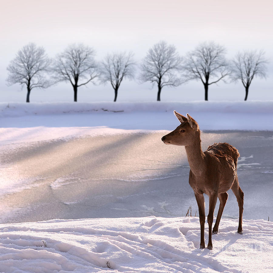 Country Photograph - Deer Doe And  Snowy Landscape by Alina G