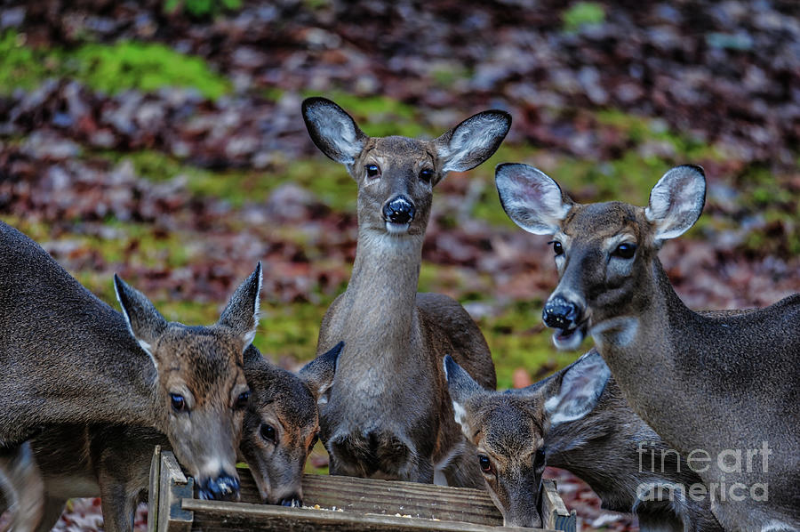 Deer Gathering by Buddy Morrison