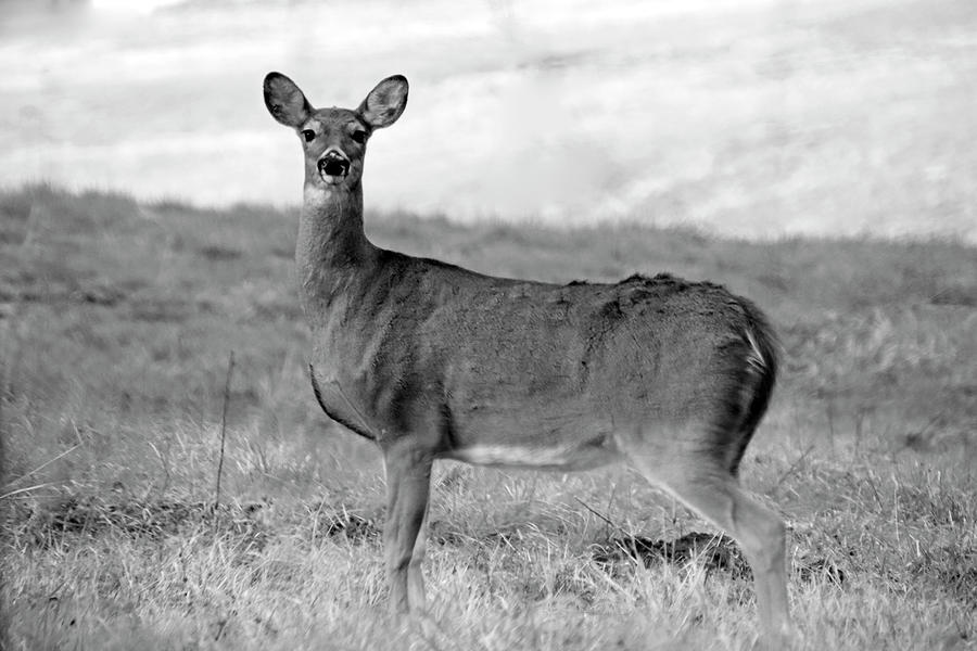 Deer in Black and White by Angela Murdock