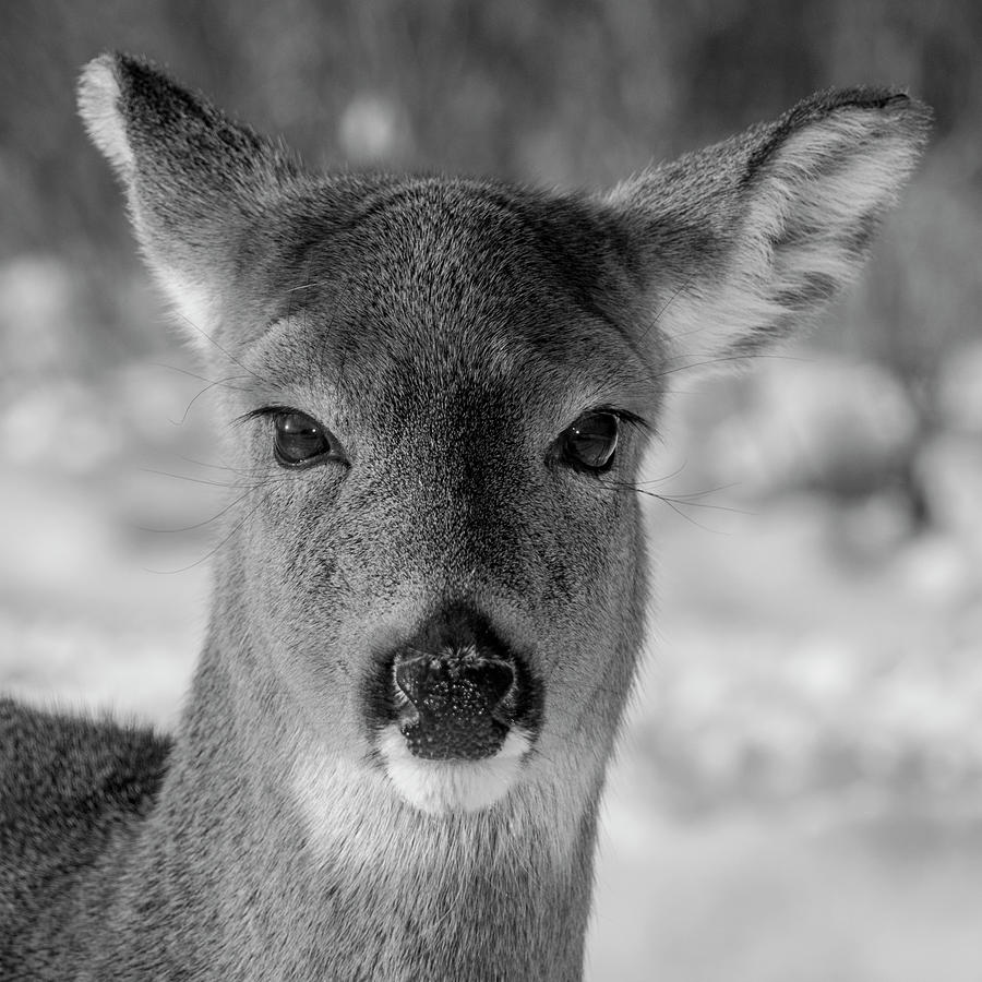 Deer in black white by cathy kovarik