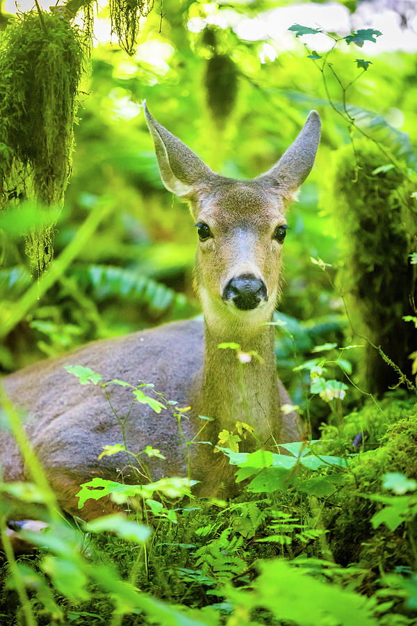 Deer In Rainforest 2 Photograph