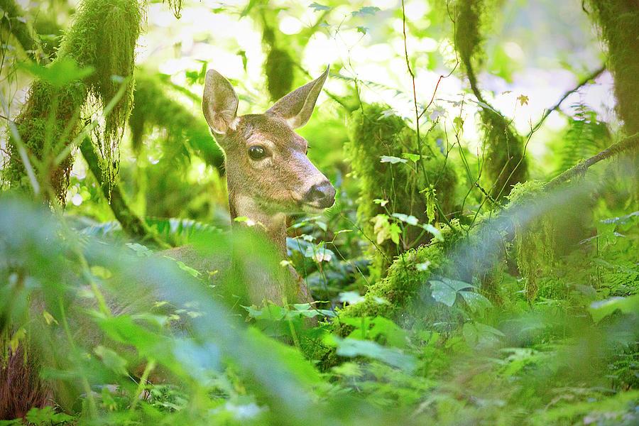 Deer In Rainforest 4 Photograph