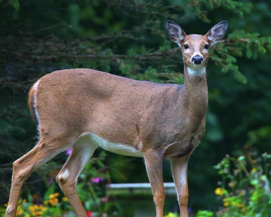 Deer in the Garden by Arvin Miner