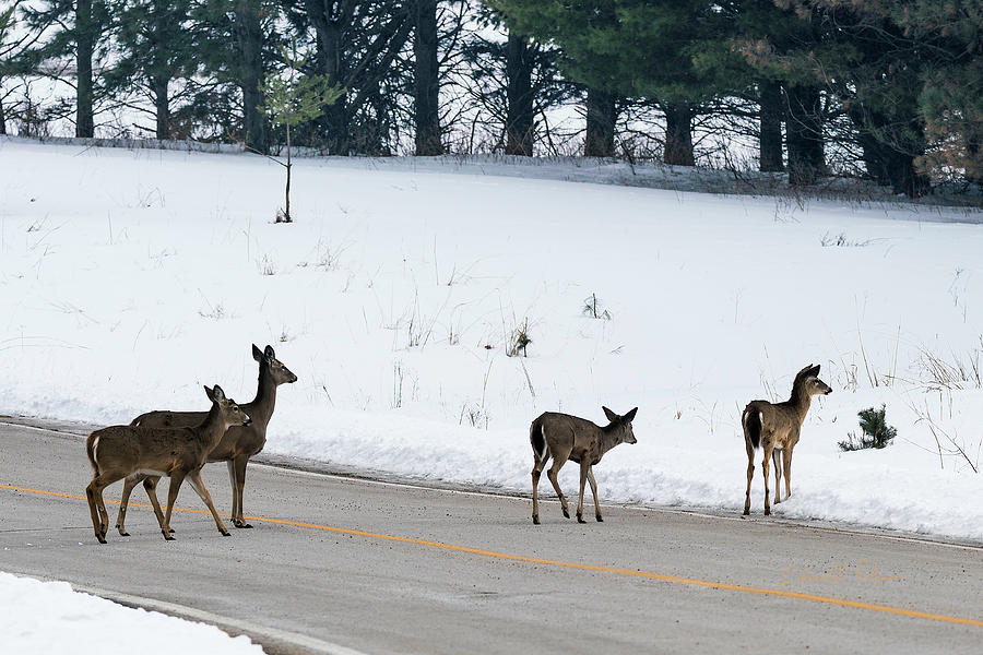 Deer In The Road by Edward Peterson