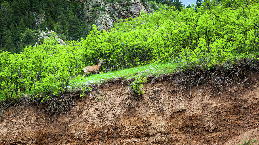 Deer In Waterton Canyon, Colorado by Jeanette Fellows