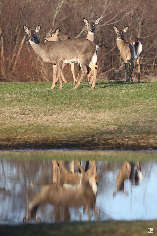 Deer by John Meader
