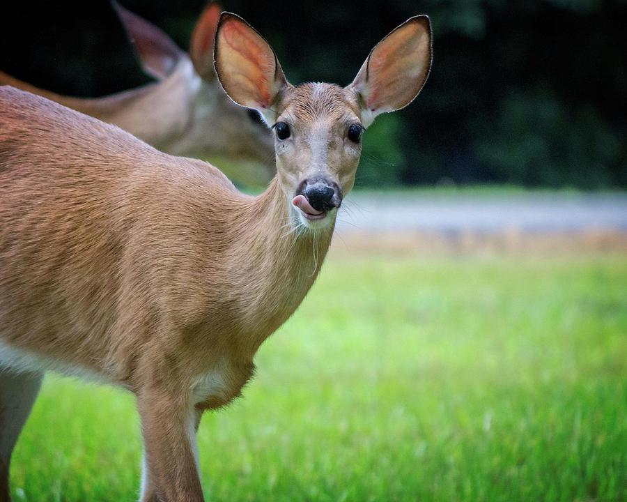 Deer Licking Lips by Angel Sharum
