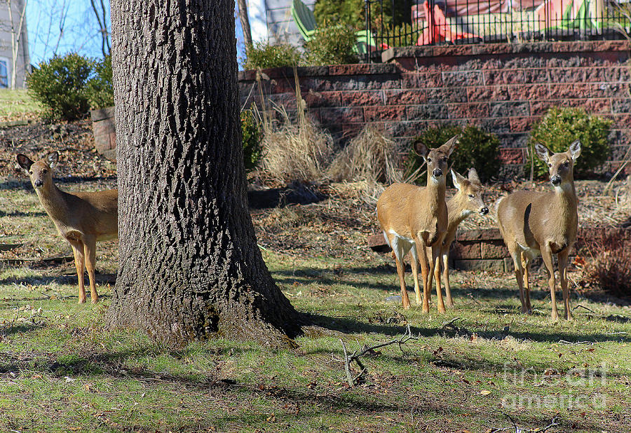 Deer Neighbors by Karen Adams
