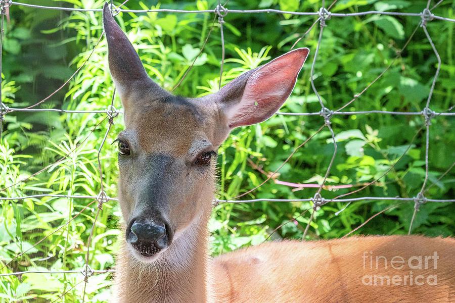 Animals Photograph - Deer by Nicki Hoffman