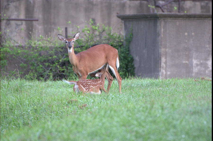 Deer nursing by Buddy Scott