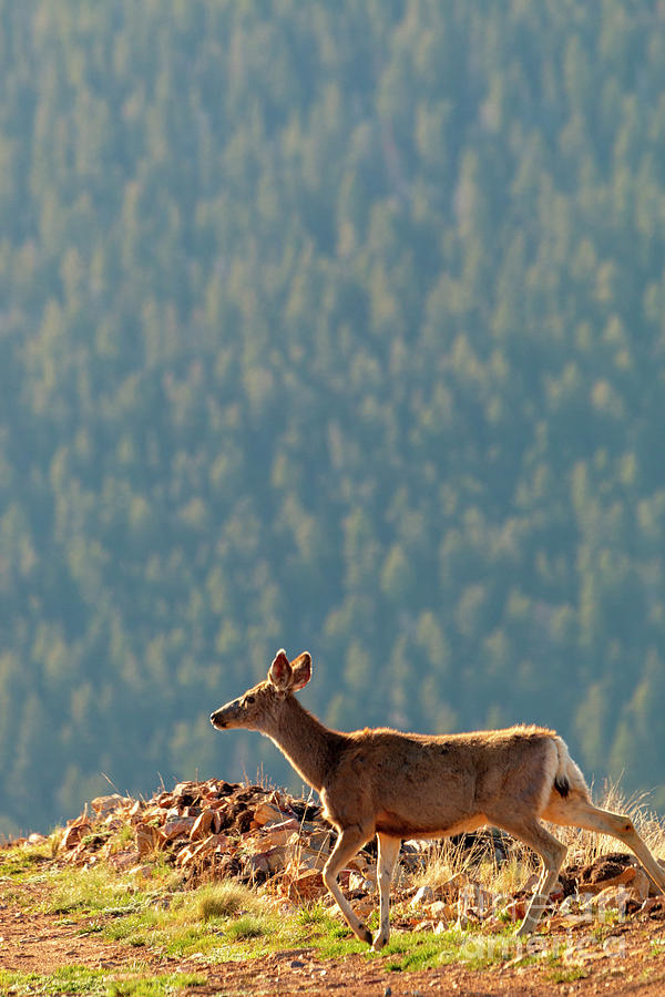 Deer on a Warm Colorado Spring Morning by Steve Krull