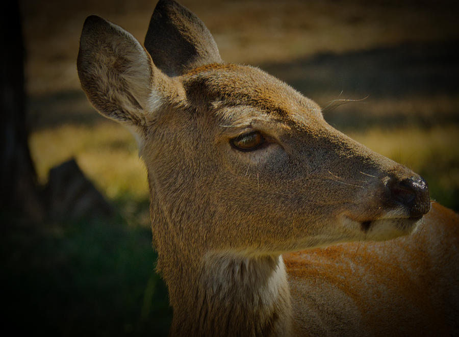 Deer Profile Photograph
