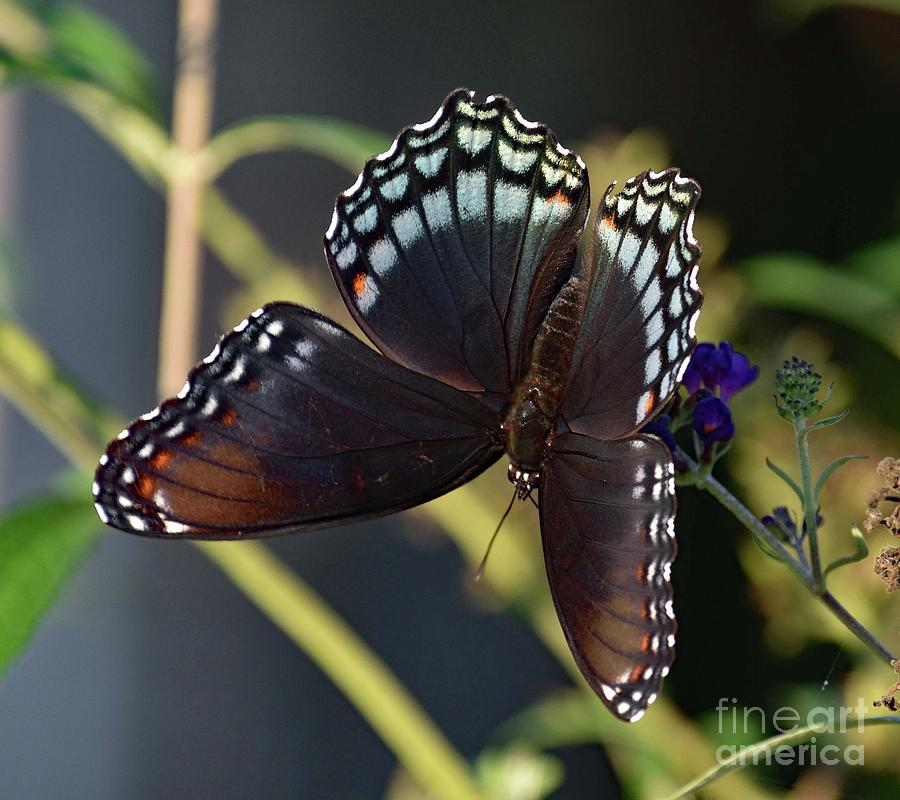 Artwork Photograph - Delicate Beauty Red-spotted Purple by Cindy Treger
