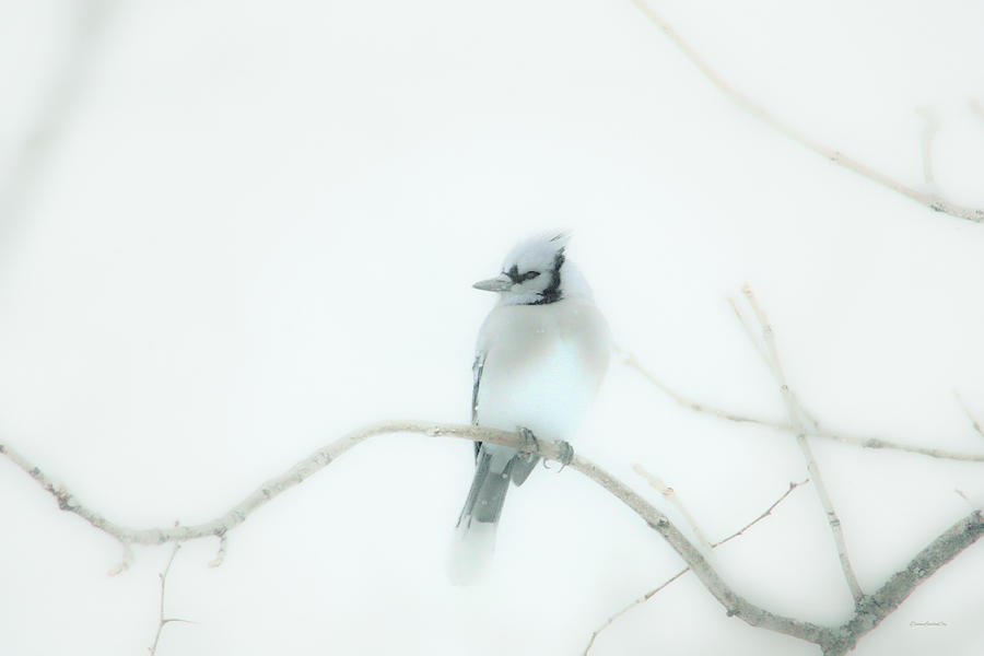 Delicate Blue Jay by Diane Lindon Coy