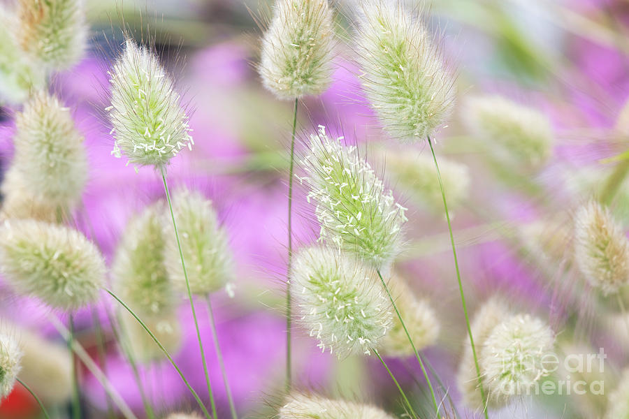 Delicate Hare's Tail Grass by Tim Gainey