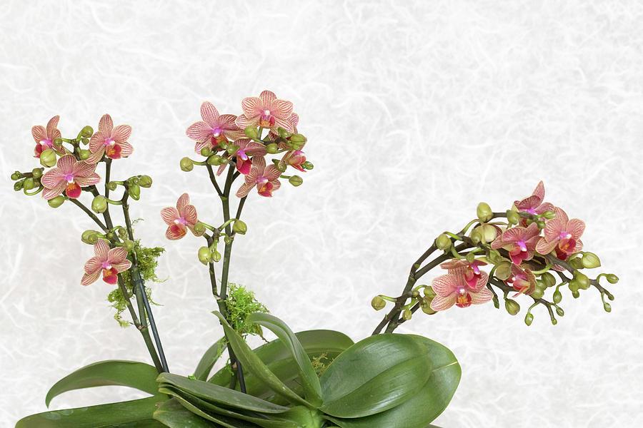 Delicate Orchids by Patty Colabuono