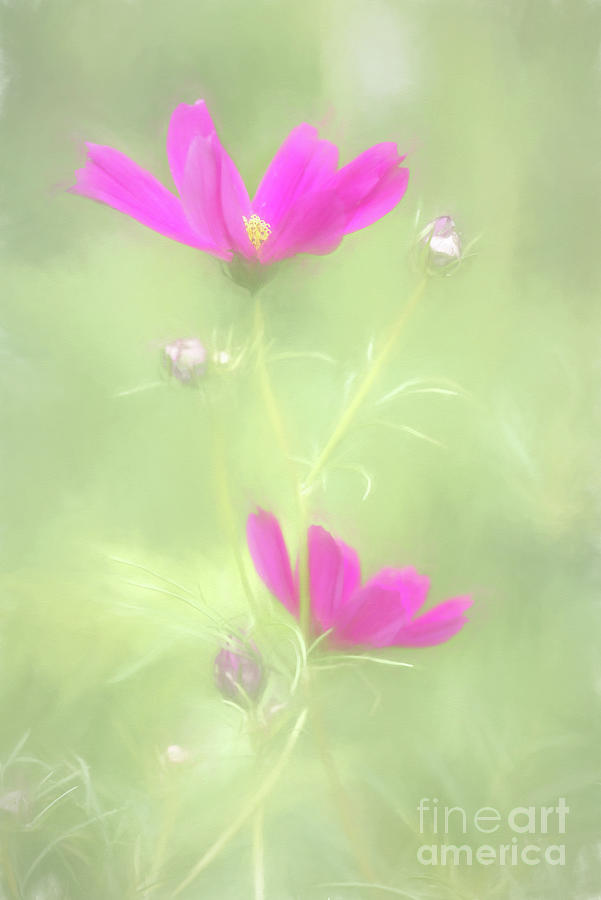 Delicate Painted Cosmos by Anita Pollak