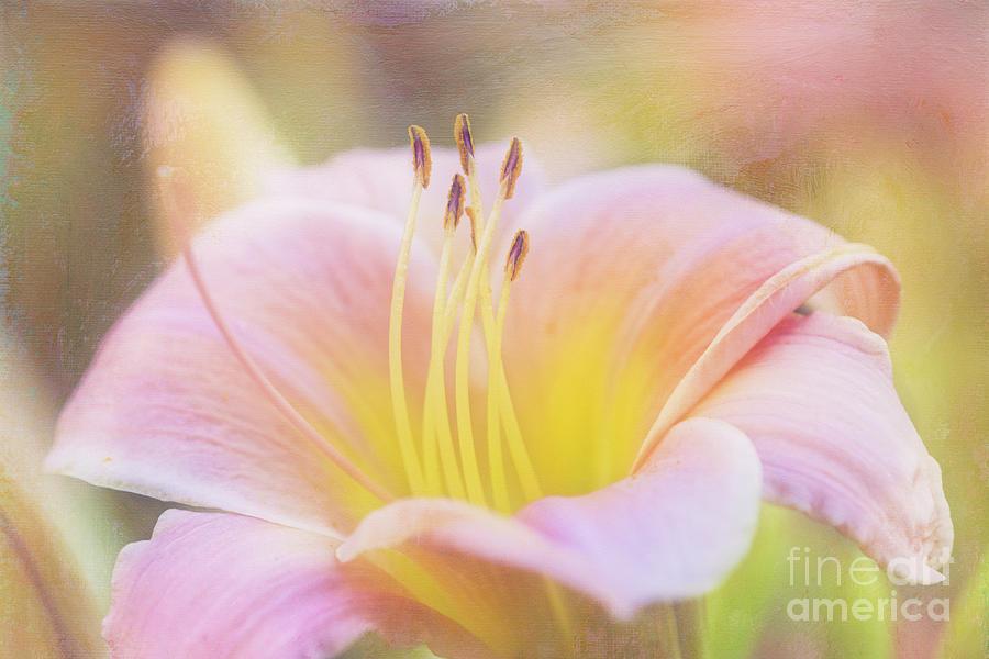 Delicate Pink Daylily by Anita Pollak