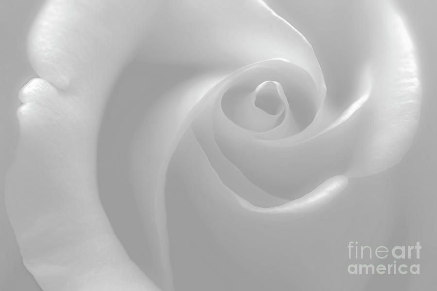 Rose Photograph - Delicate Rose, Black And White by Banyan Ranch Studios