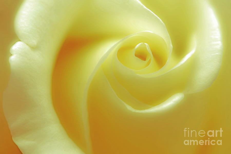 Rose Photograph - Delicate Yellow Rose by Banyan Ranch Studios