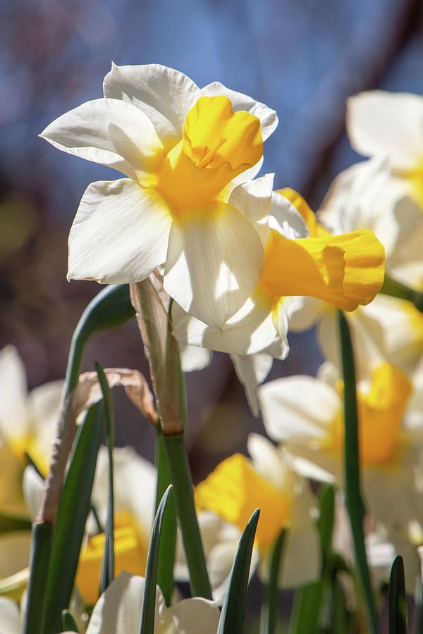 Delightful Daffodils 1682 by TL Wilson Photography by Teresa Wilson