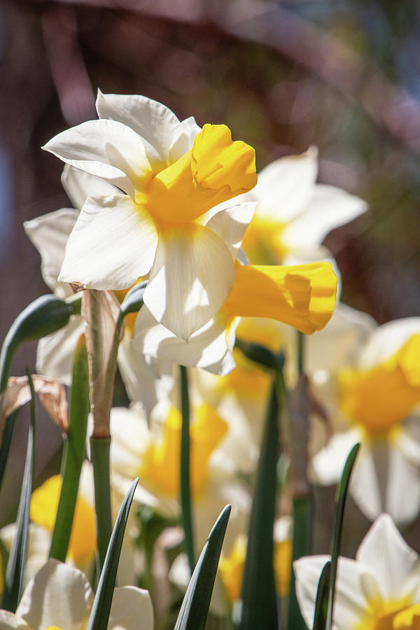 Delightful Daffodils 1687 by TL Wilson Photography by Teresa Wilson