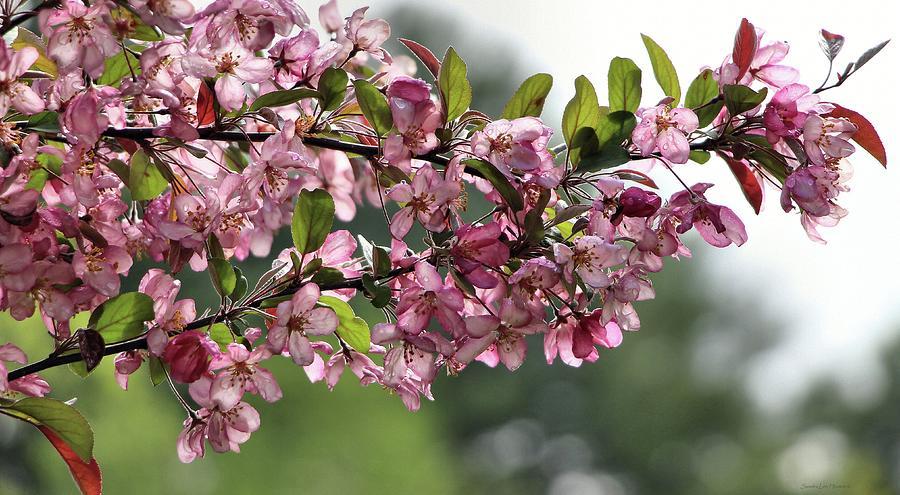 Delightful Pink Crab Apple Blossom's by Sandra Huston