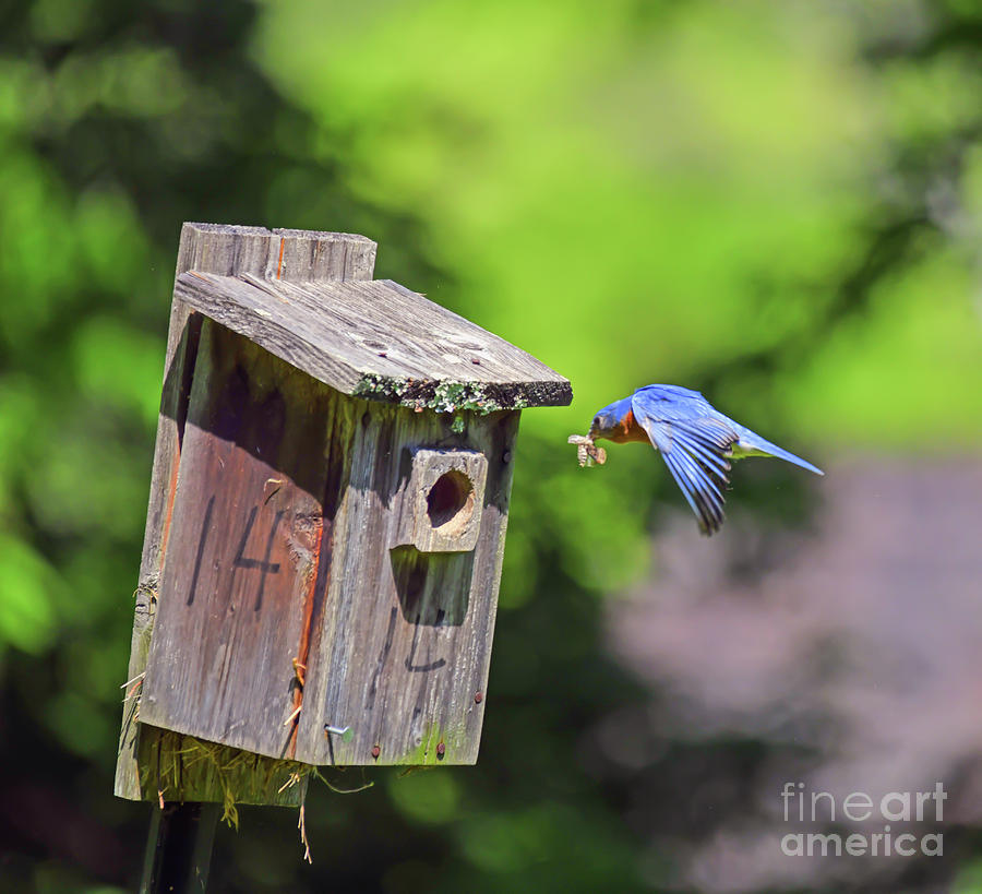 Delivery for House 14 - Male Eastern Bluebird by Kerri Farley