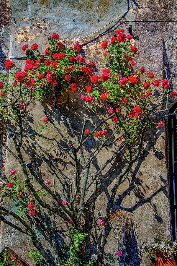 Italia Photograph - della Rocca Rose by Joseph Yarbrough