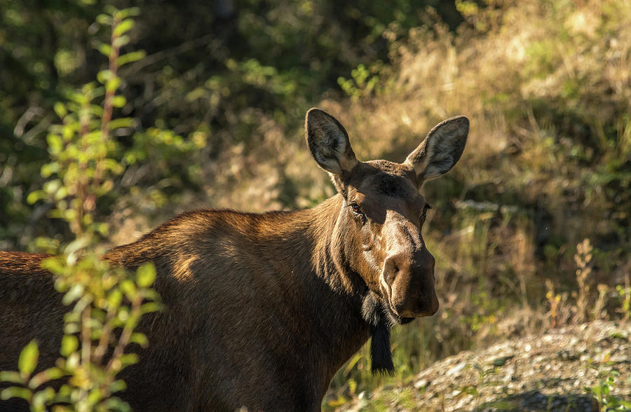 Denali Moose by Brenda Jacobs