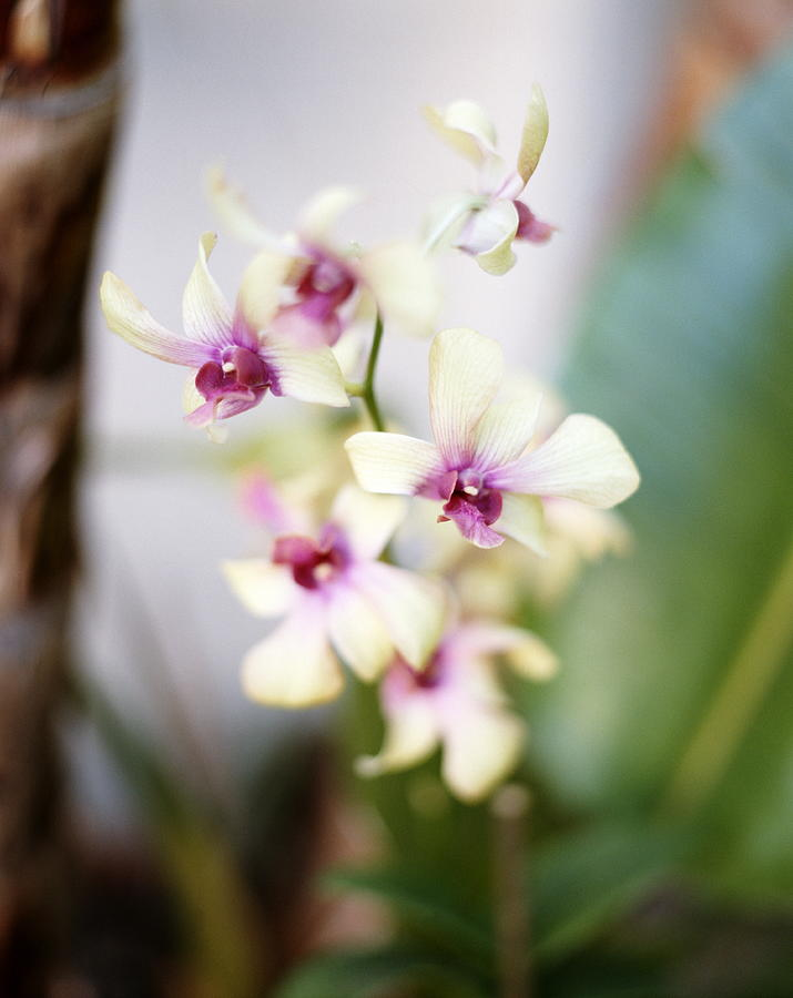 Dendrobium Orchids In Bloom By Mark Scott