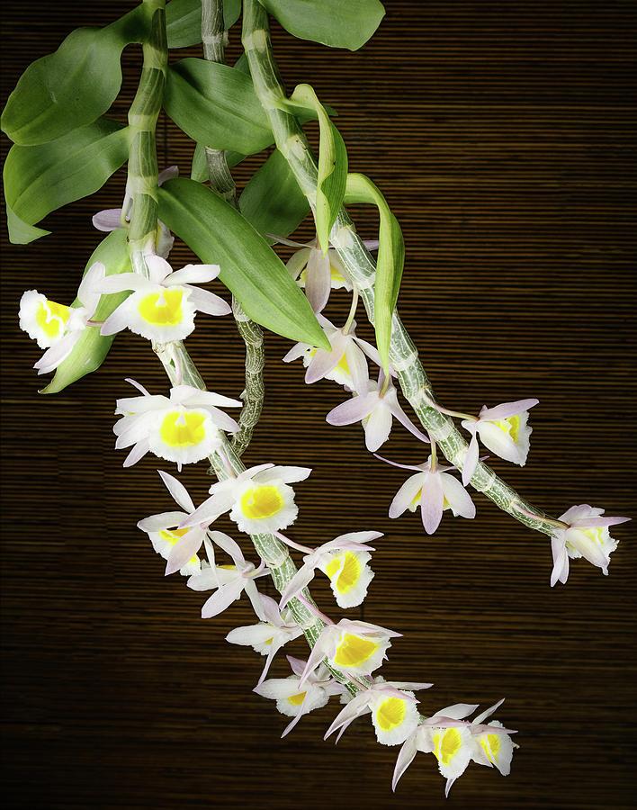 Dendrobium Primulinum Orchid-2 by Rudy Umans