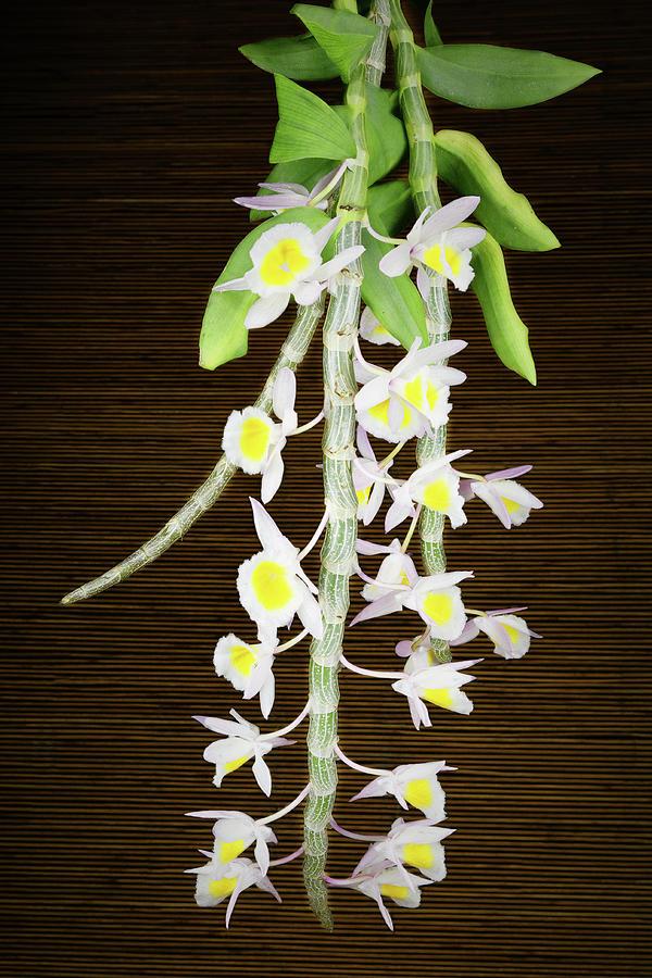 Dendrobium Primulinum Orchid by Rudy Umans