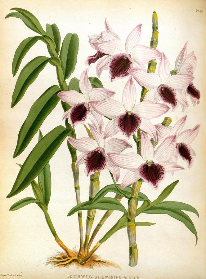 Dendrobrium Ainsworth Roseum Vintage Lindenia Orchid by Jean Jules Linden