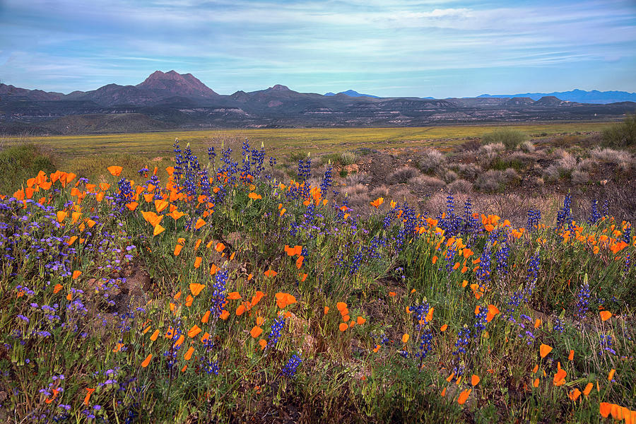 Desert blooming flowers in the springtime by Dave Dilli