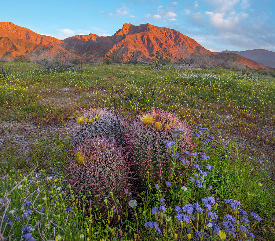 Desert Bluebell In Spring With Barrel by Tim Fitzharris