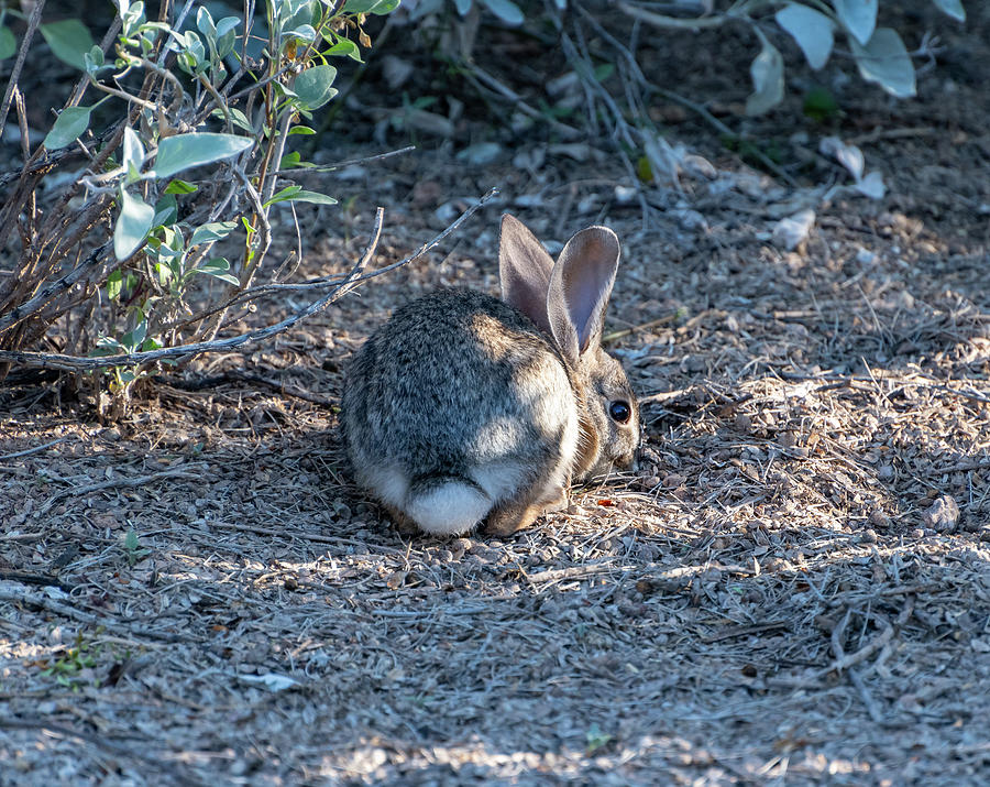 Desert Cottontail 4 by Douglas Killourie