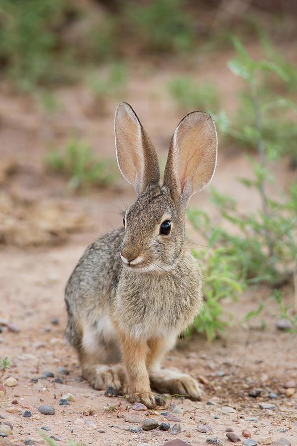 Cottontail Rabbit Photograph - Desert Cottontail Rabbit by Maria Jeffs