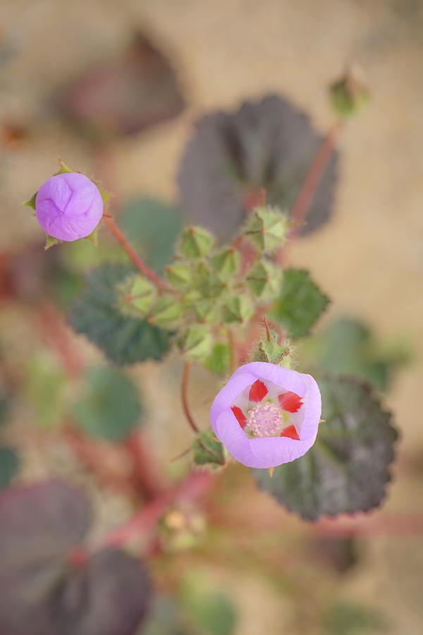 Desert Five Spot - Eremalche rotundifolia by Alexander Kunz